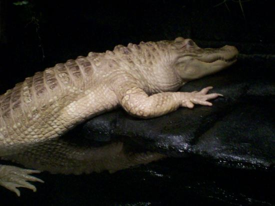 Albino Alligator!