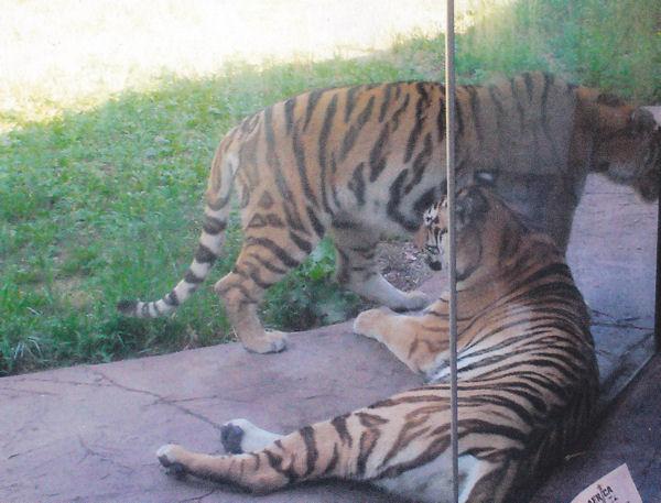 Tiger Lair!