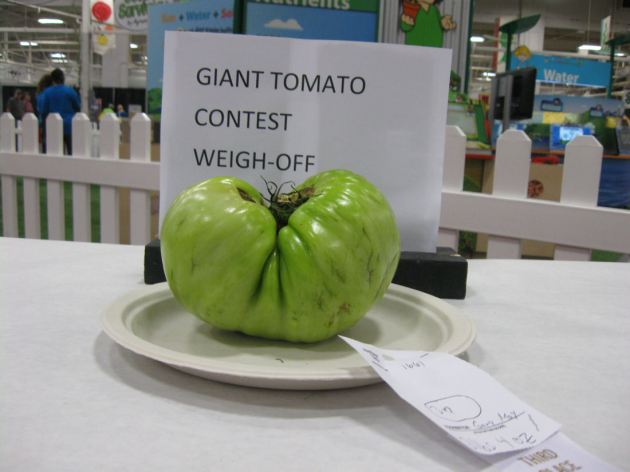 Giant Tomato!