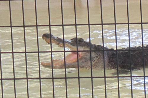 Gator mouth!