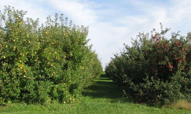 Apple Walk.