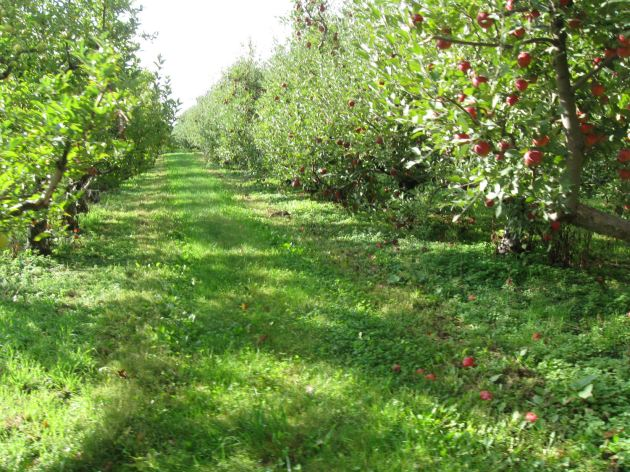 Tunnel of apples!