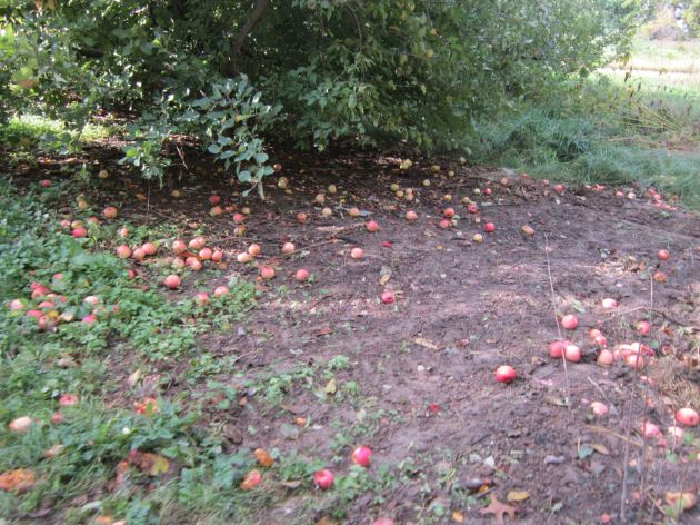 Apples down!