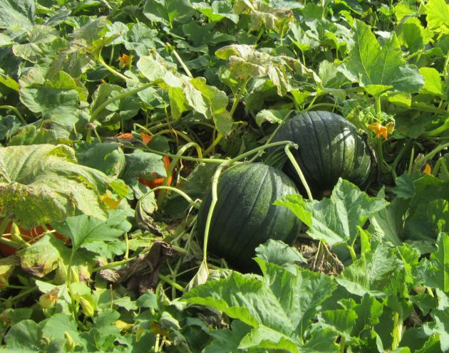 Green Pumpkins!