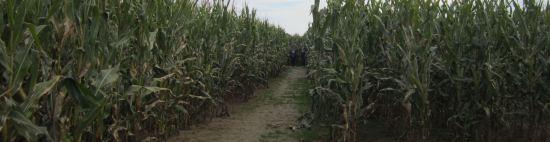 Corn strangers.