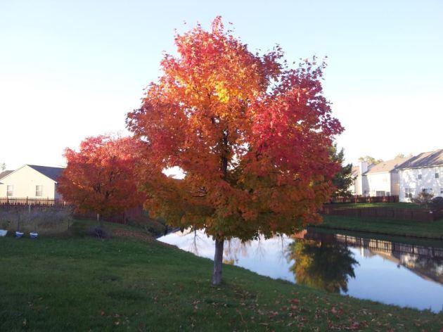 Autumn Maple, 2014