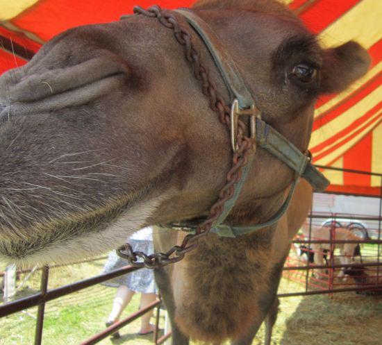 Camel in 3-D!
