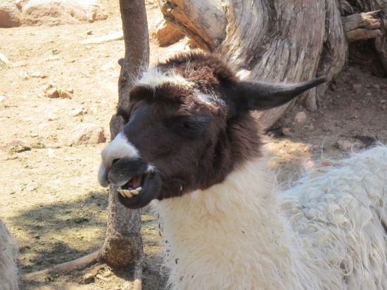 Chewy Llama!