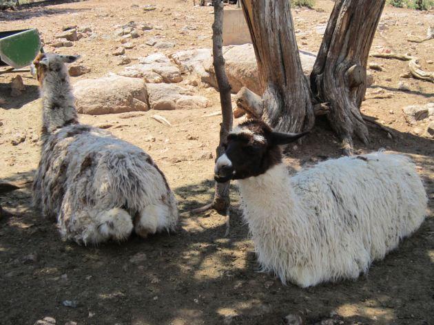 Llamas in Repose!