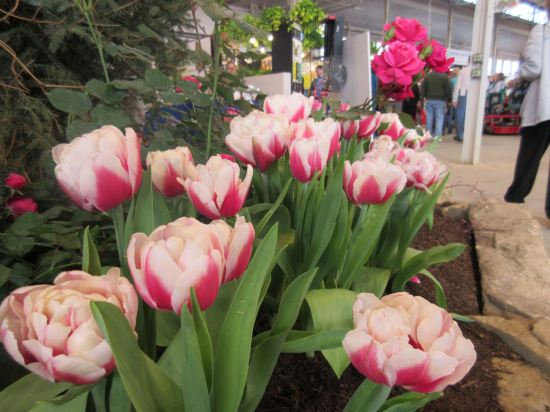 Tulips!