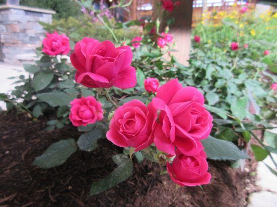 Mini Roses!