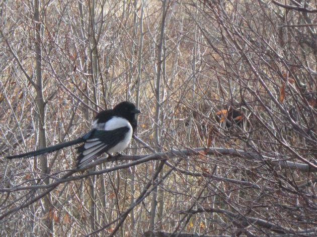 Black-Billed Magpie!