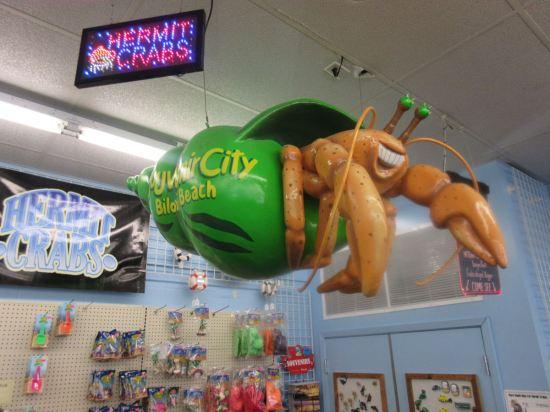 Giant Hermit Crab!