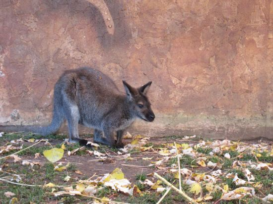 Red-necked wallaby!