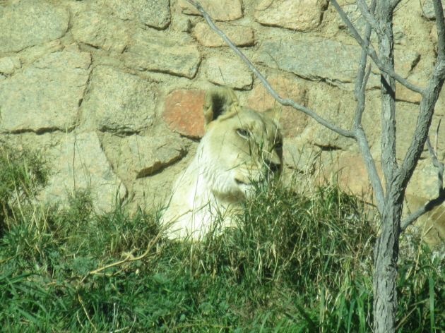 Mountain Lion!
