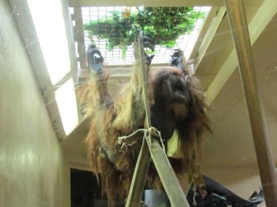 Sumatran orangutan!