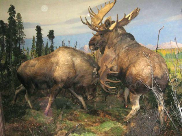 Stuffed Moose Fight!