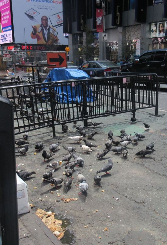 Pigeon buffet!