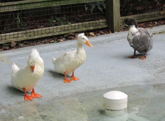 ducks preening!