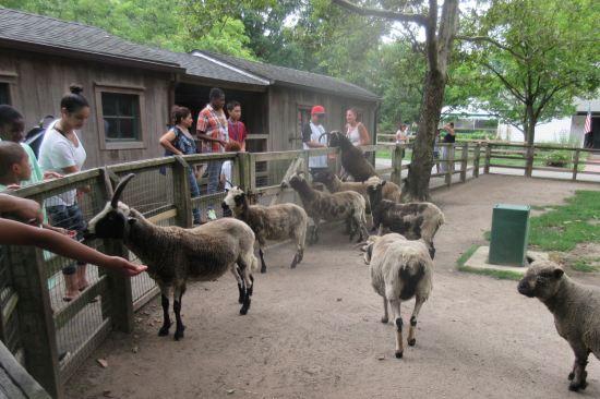 goat feeding!