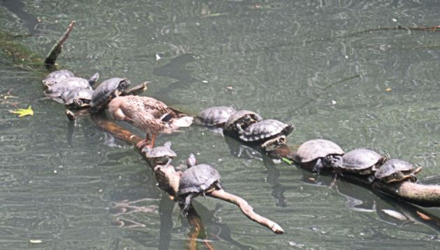 turtles in a row!