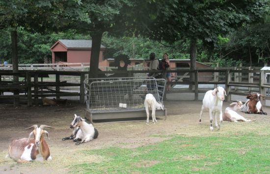 Queens Zoo goats!