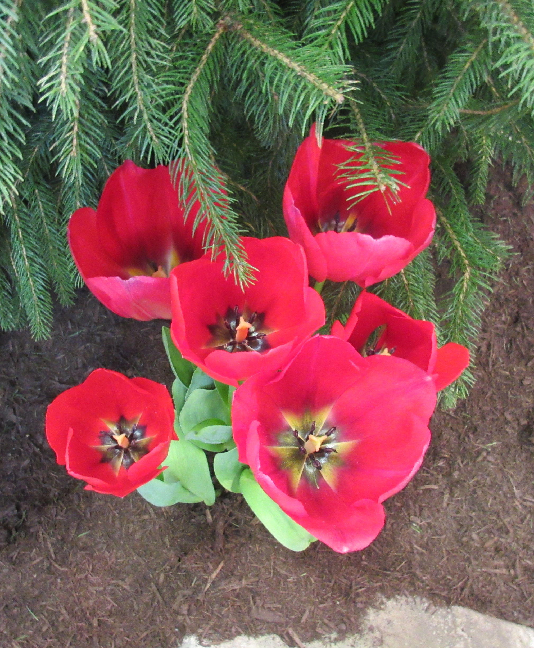 Flowers are pretty 5 the final blooming midlife crisis crossover red tulips mightylinksfo