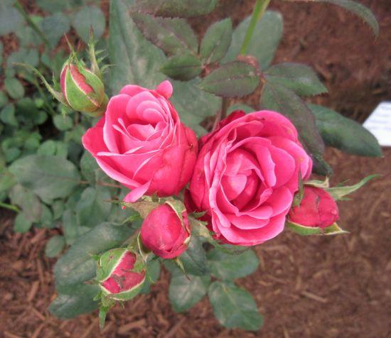 tiny roses!
