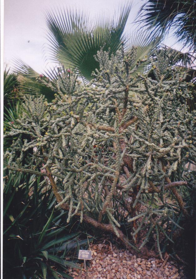 Cactus Bush!