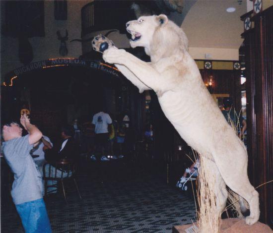 Lion Pouncing!