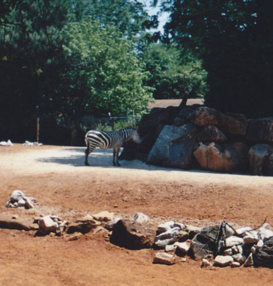 Faraway Zebra!