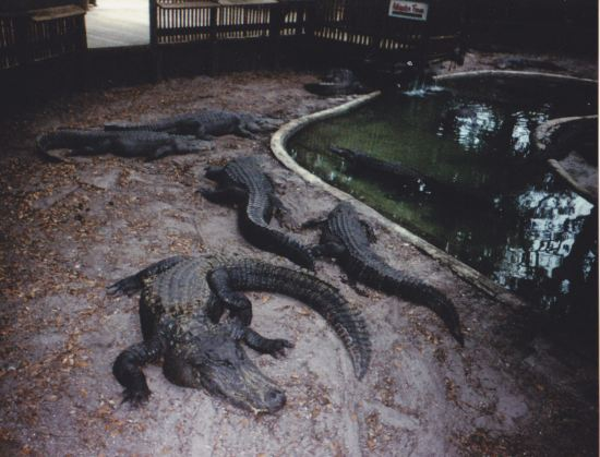 Alligators!
