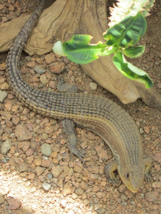 African plated lizard!