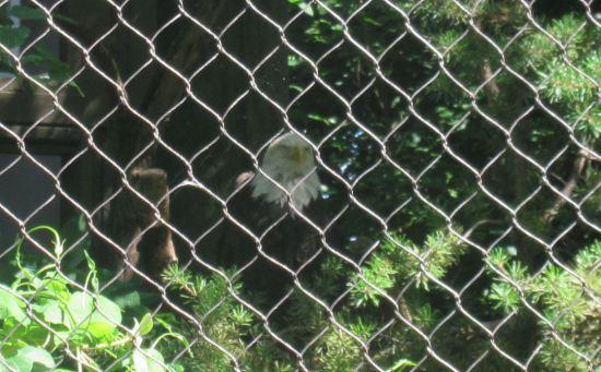 Bald Eagle!