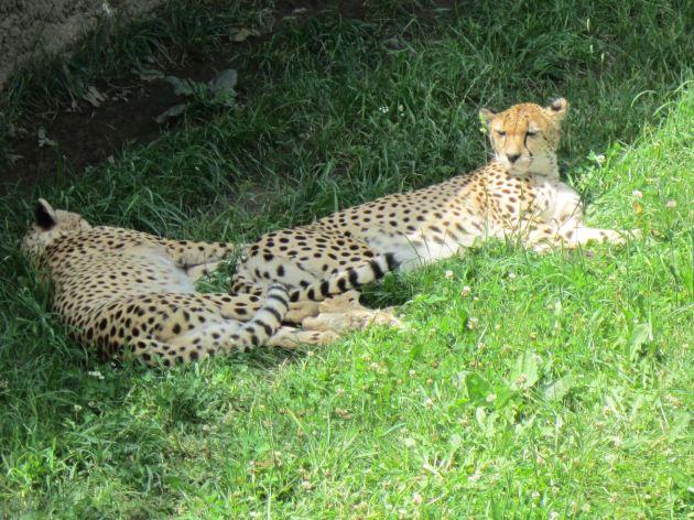 Cheetah Naptime!