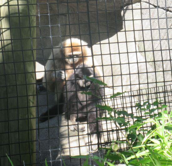 white-handed gibbons!