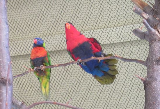 Lorikeet Duo!