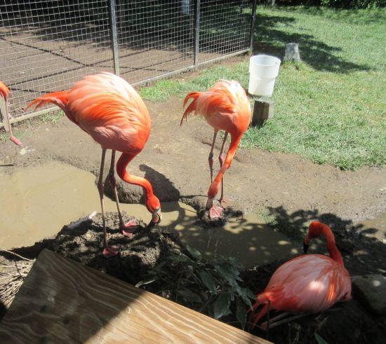 Flamingo Mudders!
