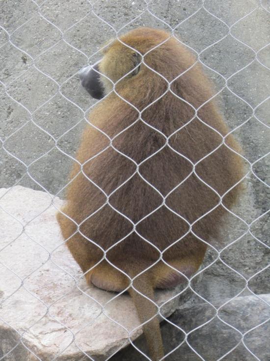 Gibbon Back!