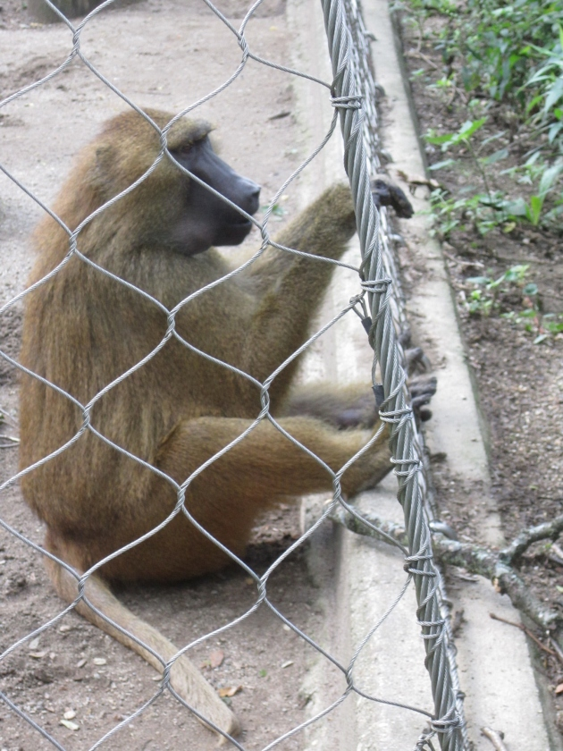 Baboon on the Ropes!