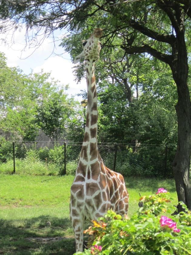 Giraffe Feeding!
