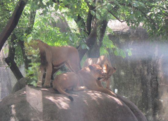 Lions Three!