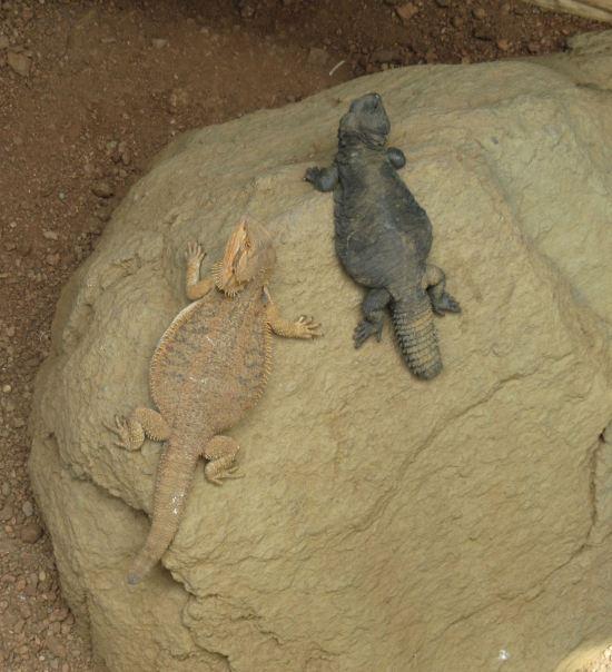 Lizard Duo!