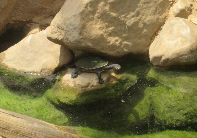 Long-Necked Turtle!