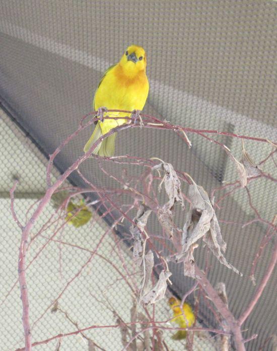 Lorikeet yellow!