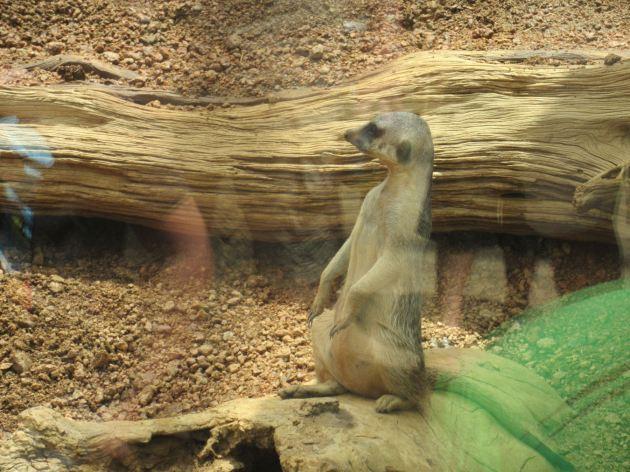 Meerkat Aback!
