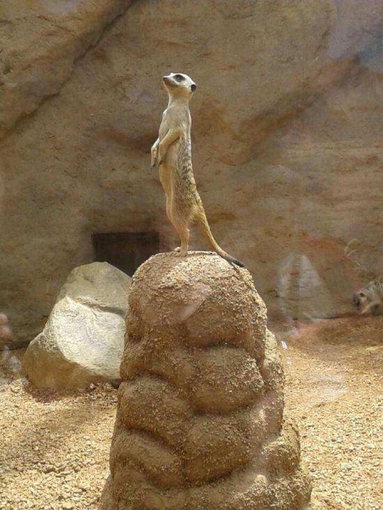 Meerkat of the Hill!