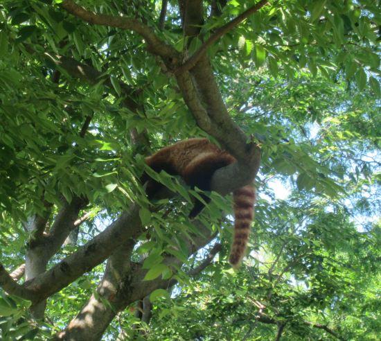 Red panda sleepy!