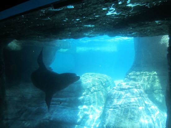 Sea Lion Underwater!