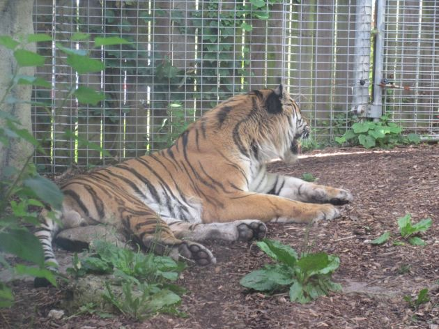Tiger in Repose.